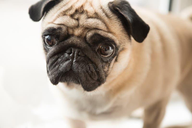 Милая малая сторона собаки мопса стоковая фотография rf