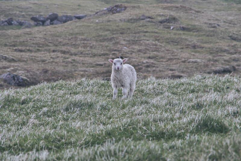 Милая маленькая овечка против травы на зеленом поле стоковые фото