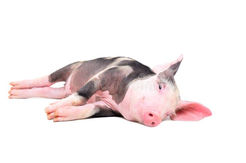 Милая маленькая свинья лежа на своей стороне стоковая фотография