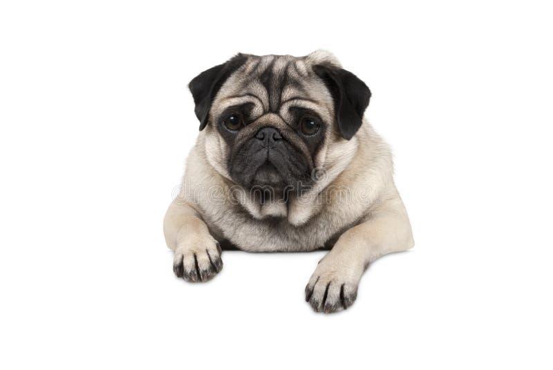 Милая маленькая собака щенка мопса, выглядящ наблюдательным ожиданием, вися с лапками на белом знамени, стоковое фото rf