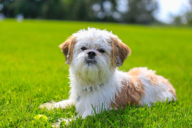 Милая маленькая собака Shih Tzu лежа на траве стоковое фото rf