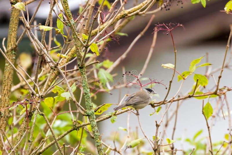 Милая мужская евроазиатская птица Blackcap садясь на насест на дереве Elderberry, Au стоковая фотография rf