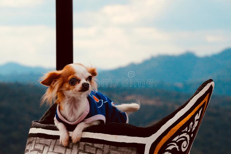 Милая муфта собаки чихуахуа на древесине стоковое фото rf