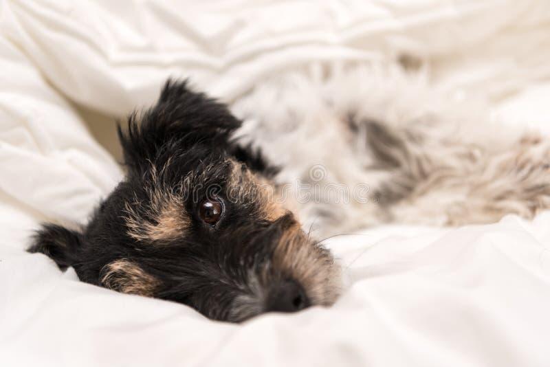 Милая небольшая собака спать в кровати с белыми постельными принадлежностями - поднимите терьера домкратом Рассела стоковое изображение