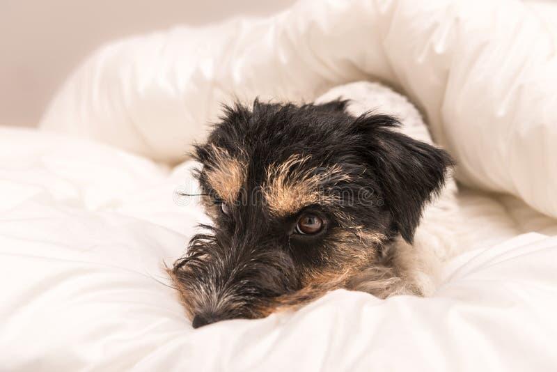 Милая небольшая собака спать в кровати с белыми постельными принадлежностями - поднимите терьера домкратом Рассела стоковые изображения