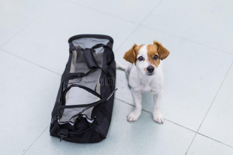 милая небольшая собака с его сумкой перемещения готовой для того чтобы получить на самолете в аэропорте Любимец в кабине Путешест стоковое фото rf