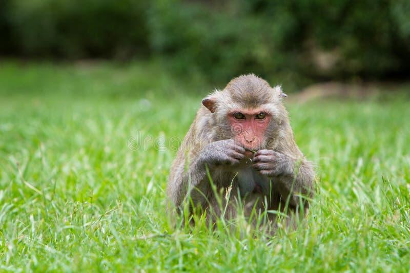 Милая обезьяна сидит на траве счастливо живя стоковые фотографии rf