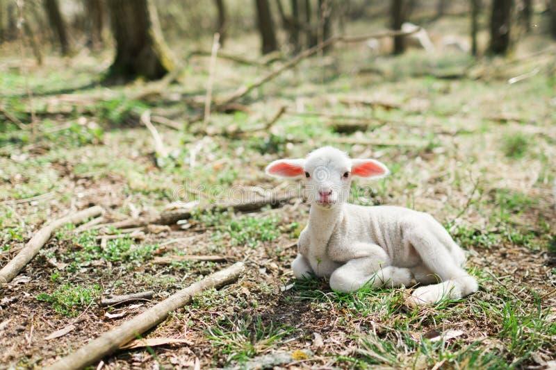 Милая овечка лежа на траве в forrest на био ферме стоковое изображение rf