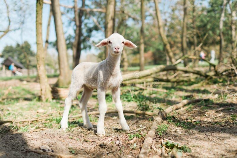 Милая овечка оставаясь на слабых ногах в forrest на био ферме стоковые изображения