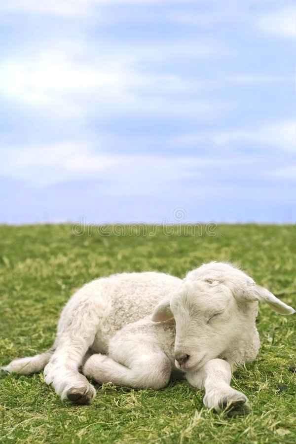 милая овечка травы очень стоковые изображения rf
