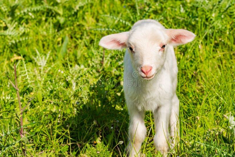Милая овечка litte на paddock с сочной зеленой травой стоковая фотография rf
