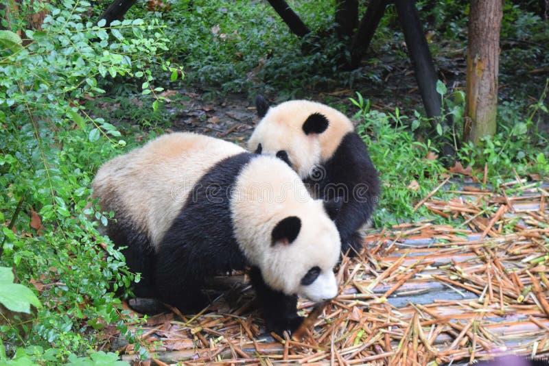 Милая панда стоковое изображение rf