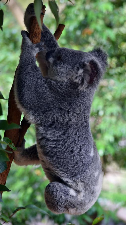 Милая проворная коала скачет на ветвь эвкалипта дерева в побережье солнечности, Квинсленде, Австралии стоковое изображение