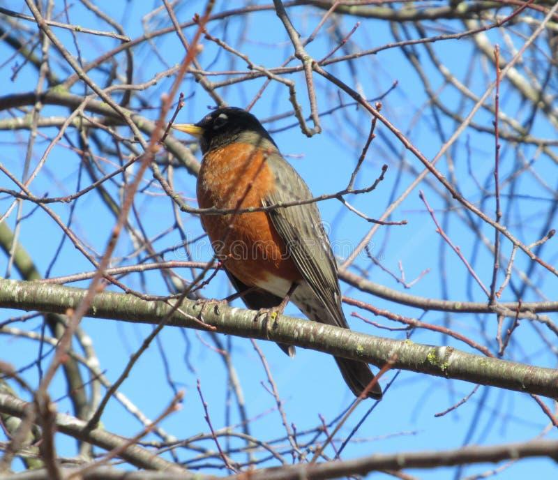 Милая птица Робин американца на конце дерева вверх стоковая фотография rf