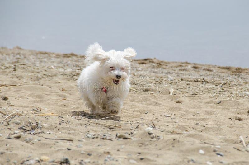 Милая пушистая собака на пляже - мальтийсном щенке стоковые изображения rf