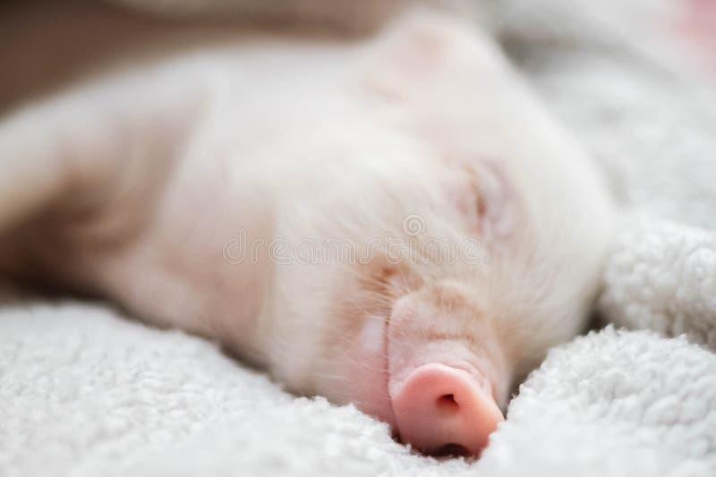 Милая свинья спит на striped одеяле Свинья рождества стоковые изображения rf