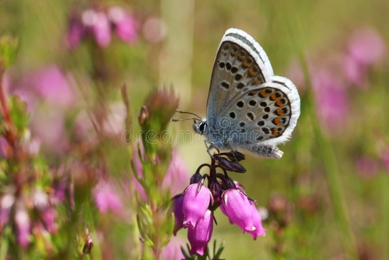 Милая Серебр-обитая голубая бабочка, Plebejus argus, садясь на насест на цветке вереска стоковые фото