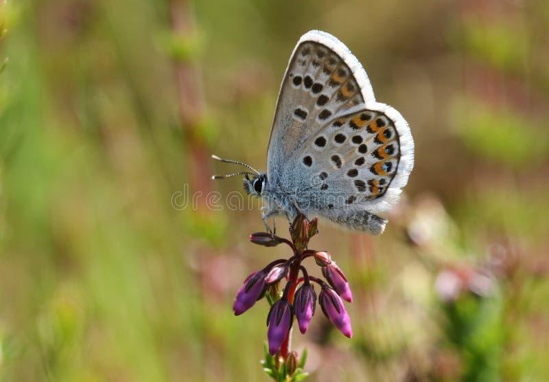 Милая Серебр-обитая голубая бабочка, Plebejus argus, садясь на насест на цветке вереска стоковая фотография rf