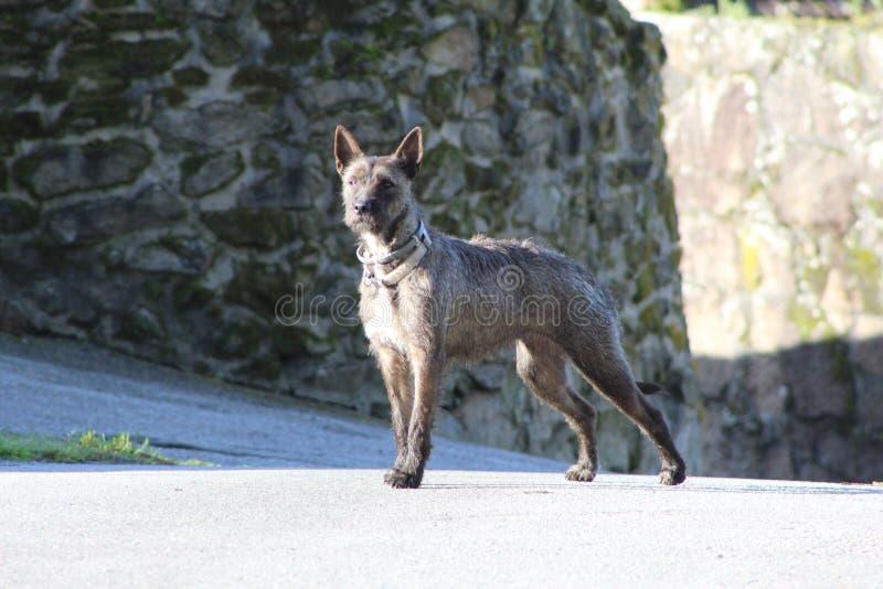 Милая собака в Галиции стоковое фото rf