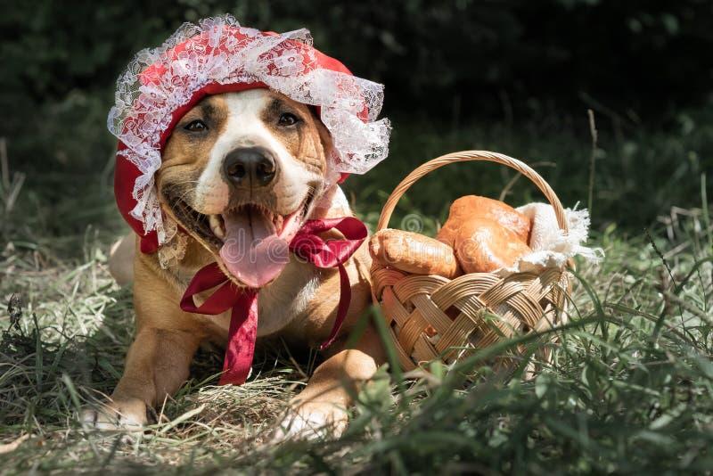 Милая собака в костюме сказки хеллоуина меньшей красной крышки порт стоковые изображения rf