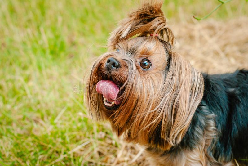Милая собака йоркширского терьера на зеленой траве стоковое изображение rf