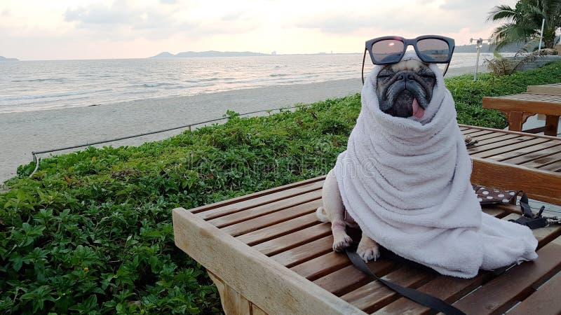 Милая собака мопса сушит на пляже после плавать обруч с полотенцем стоковое изображение