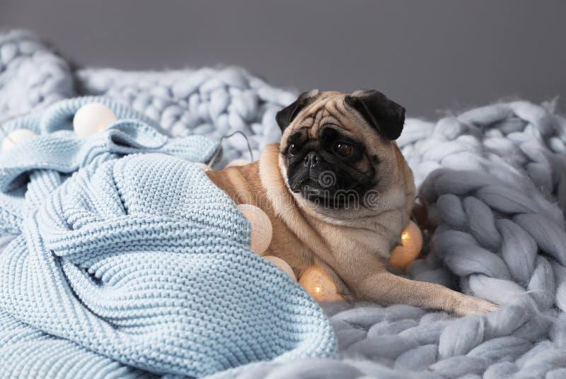 Милая собака мопса с одеялами и светами феи на поле стоковые фото
