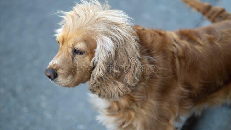 Милая собака с милый смотреть волос стоковое изображение