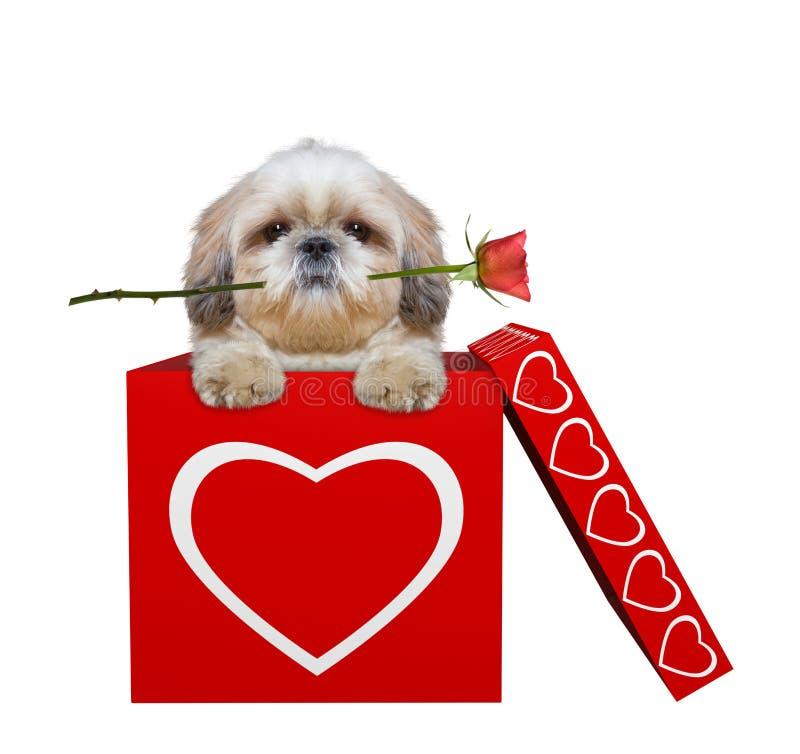 Милая собака с подняла сидящ в коробке валентинок Изолировано на белизне стоковая фотография rf