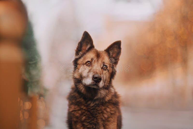 Милая собака шоколада на предпосылке золота стоковая фотография rf