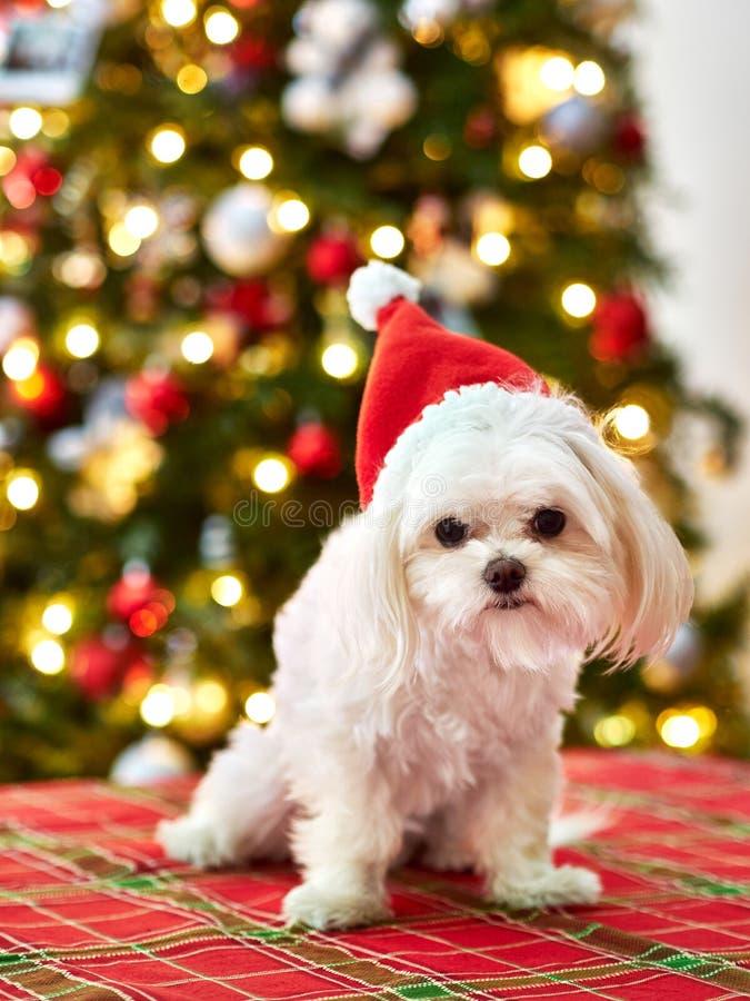 Милая собака щенка мальтийская со шляпой и рождественской елкой santa в предпосылке на праздники стоковое изображение