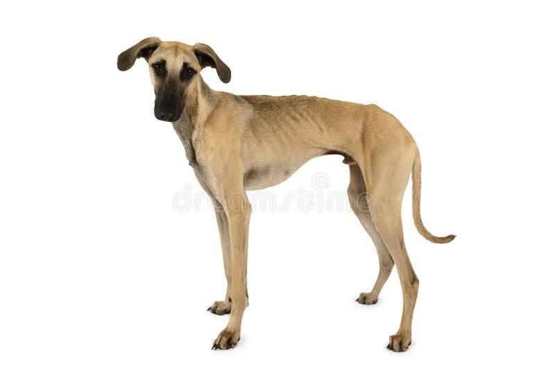Милая собака Sloughi аравийцаизолированная на белизне стоковое фото