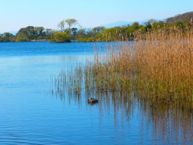 Милая утка в реке стоковое фото