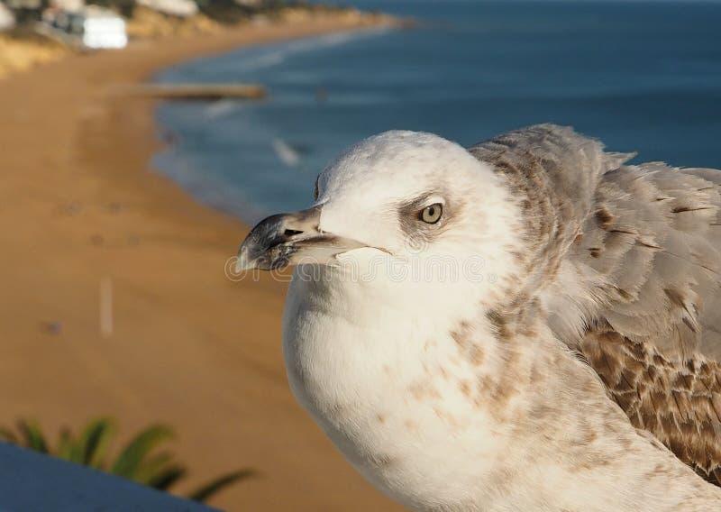 Милая чайка перед пляжем Albufeira на побережье Алгарве Португалии стоковая фотография