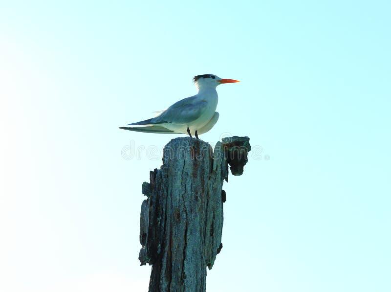 Милая чайка сидя на журнале Свет - предпосылка голубого неба карибско искусственного стоковое изображение rf