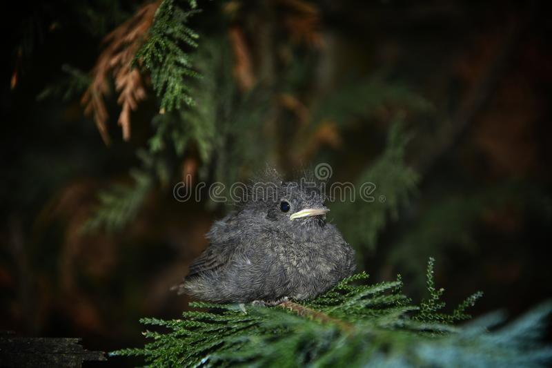 Милая черная птица Redstart молодая сидит на ветви в изгороди стоковая фотография