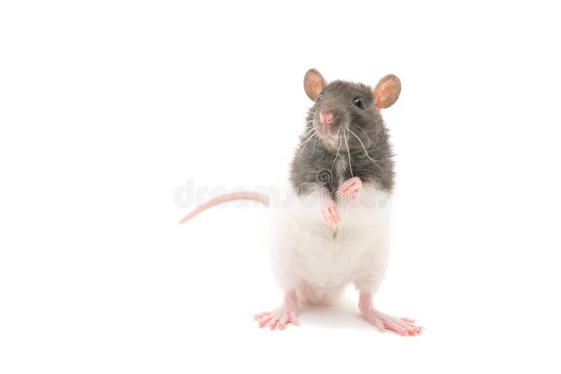 Милая черно-белая декоративная крыса стоя на задних ногах на белой предпосылке стоковые изображения
