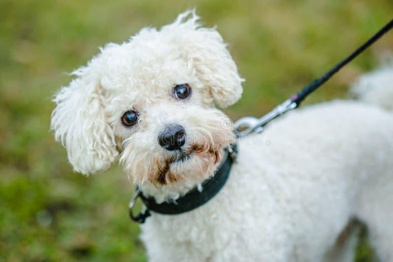 Милая bolognese собака на поводке стоковое фото
