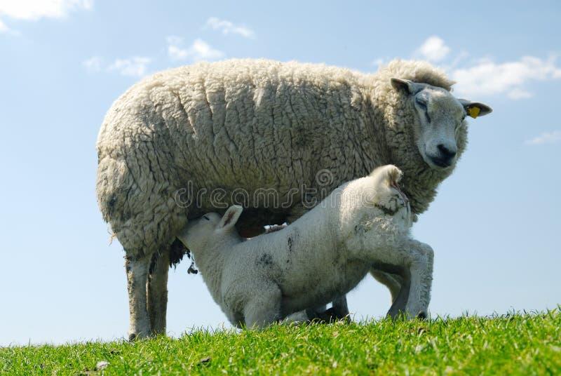 милое выпивая молоко овечки стоковые изображения