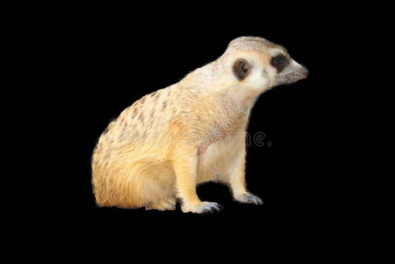 Милое изолированное Meerkat стоковые фото