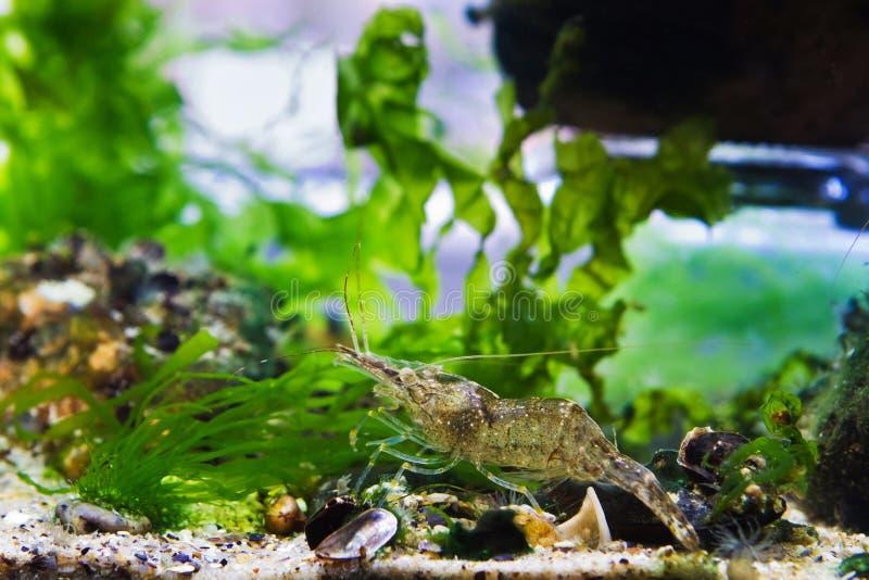 милое и забавное животное palaemon adspersus, baltic prawn, saltwater decapod crustacean, осматривает морскую кровать для еды стоковое фото rf