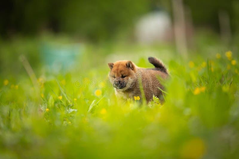 Милое красное положение щенка inu shiba в зеленой траве летом стоковое фото