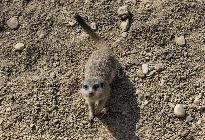 Милое маленькое meerkat в зоопарке стоковые изображения