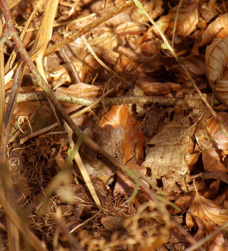 милое поле выходит мышь смотрря прищурясь стоковые фотографии rf