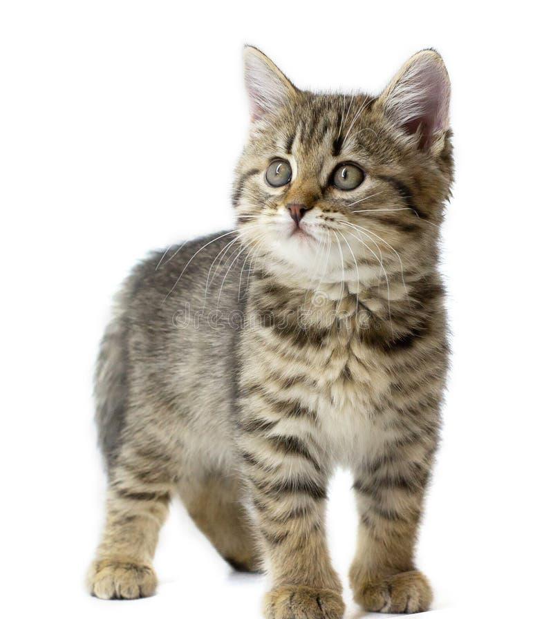 Милое положение котенка младенца tabby смотря левую сторону, изолированную на белой предпосылке Животные ребенк и прелестная конц стоковые изображения rf