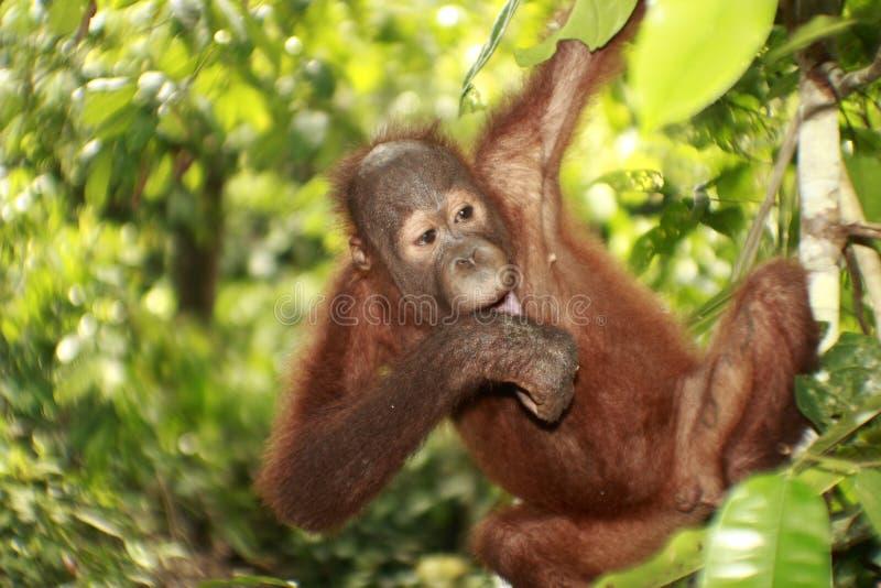 милое смотря orang utan стоковое фото