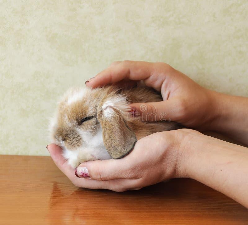 Мило lop eared кролик младенца стоковые фотографии rf