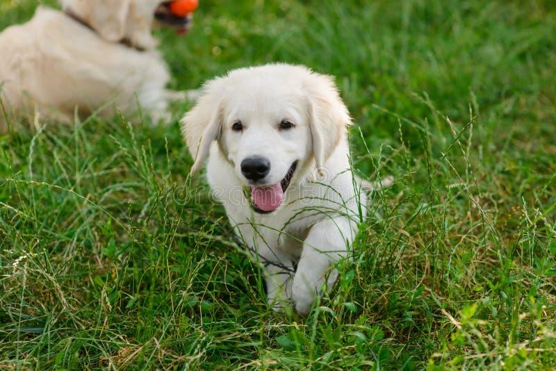 Милые бега щенка к камере стоковая фотография rf