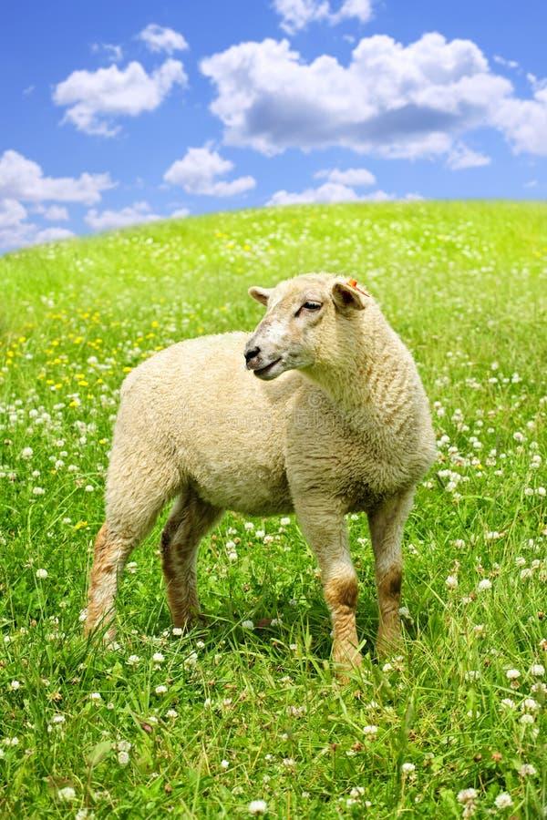 милые детеныши овец стоковые фото