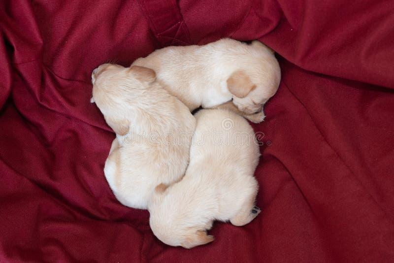 Милые маленькие щенята стоковое изображение rf